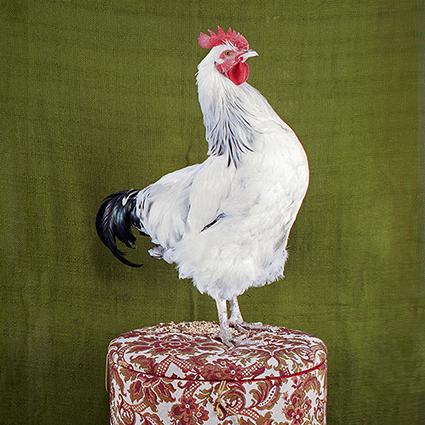 stepney city farm cockerel