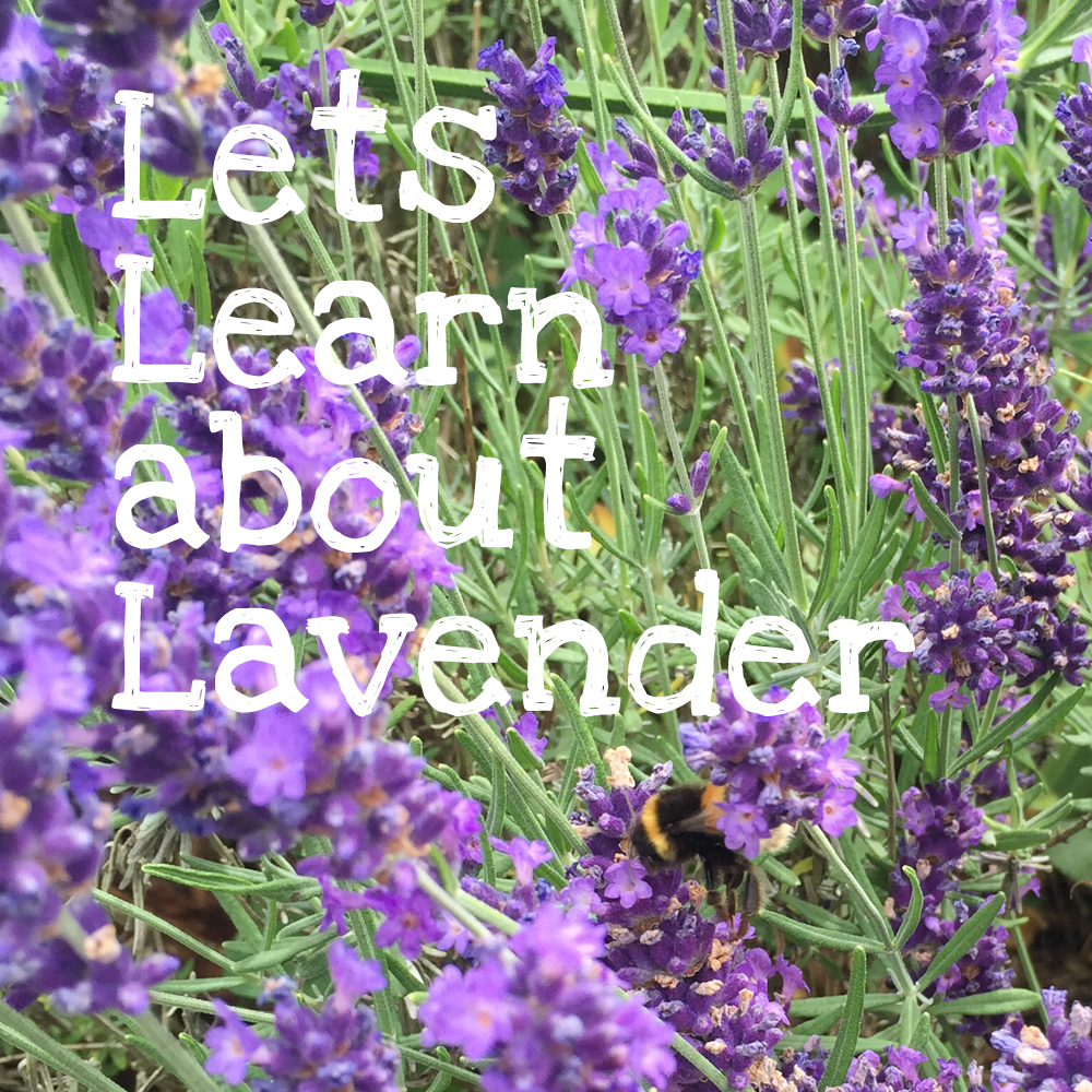 Learn about lavender